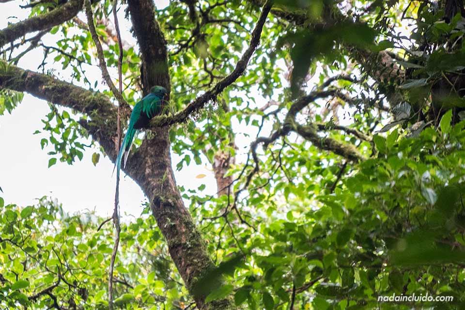 Pájaro quetzal en el Bosque Nuboso de Monteverde (Costa Rica)