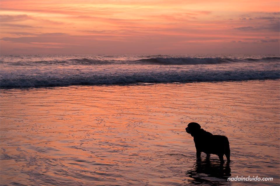 Un perro se baña en la playa de Santa Teresa, durante el atardecer (Costa Rica)