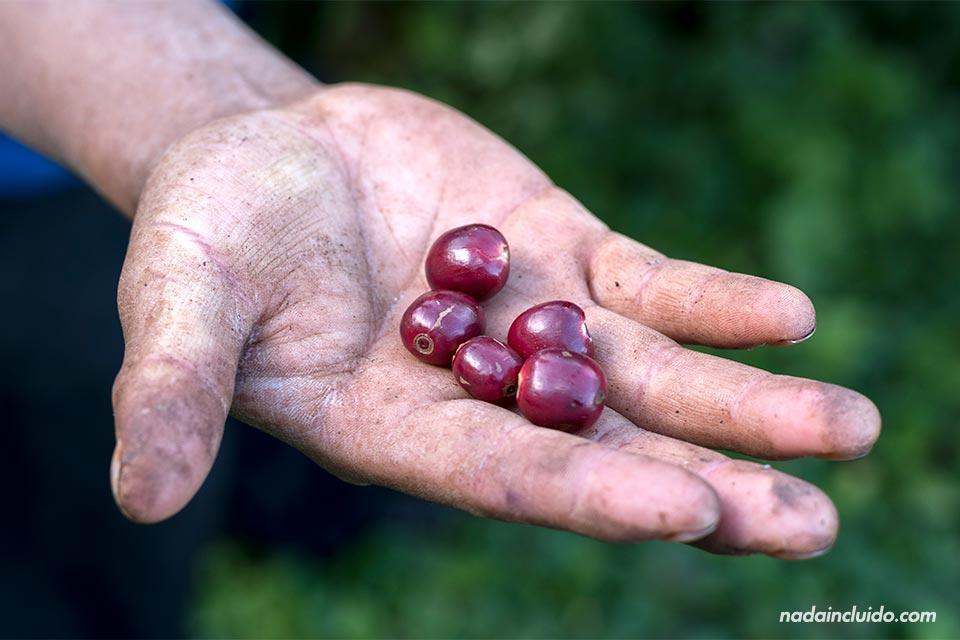 Cogiendo con la mano el fruto del café en Boquete (Panamá)