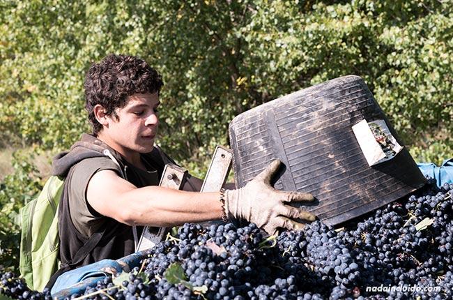 Chico vendimiando en Rioja Alavesa (País Vasco, España)