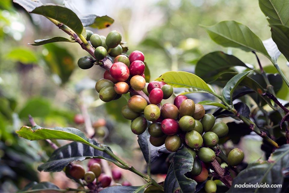 Planta de café en Elida Estate Coffee, Boquete (Panamá)
