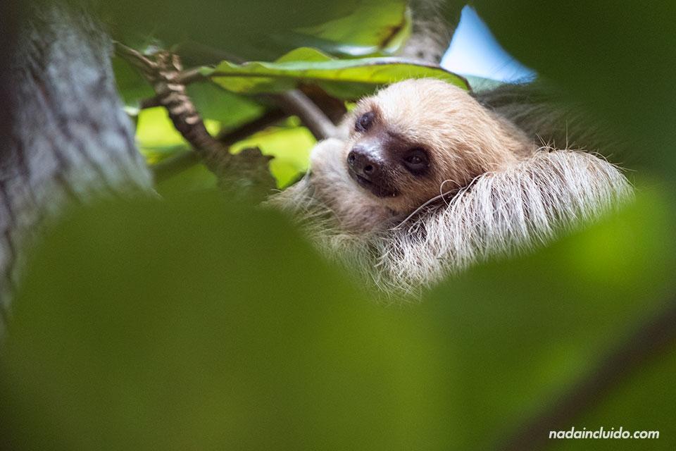 Cría de oso perezoso en Punta Culebra, una reserva natural de ciudad de Panamá