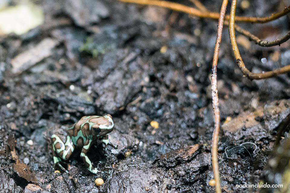 Rana en la reserva natural de Punta Culebra, en ciudad de Panamá