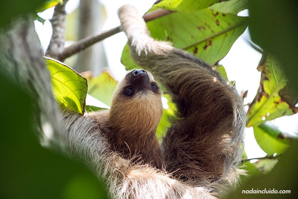Una cría de oso perezosos y su madre en Punta Culebra, una reserva natural de ciudad de Panamá