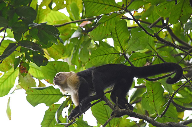 Mono en Parque Nacional Tortuguero (Costa Rica)