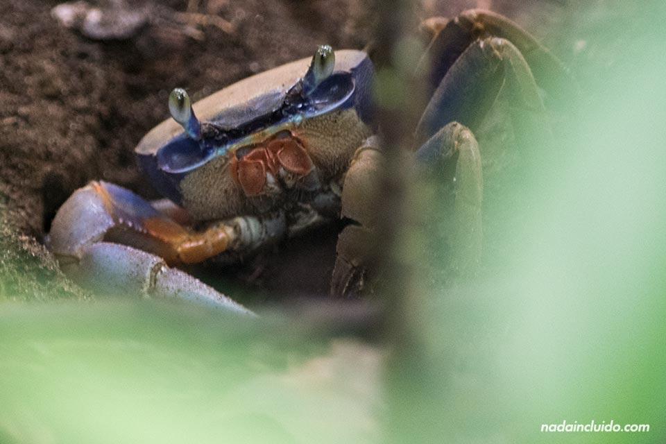 Cangrejo en el parque nacional de Tortuguero (Costa Rica)
