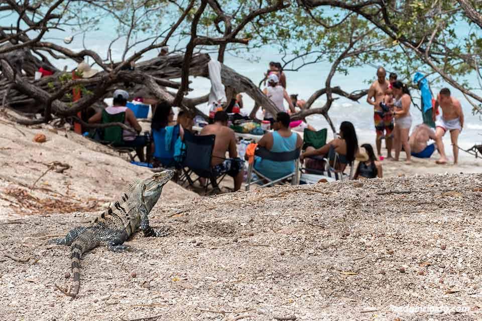 Iguana en Playa Conchal (Costa Rica)