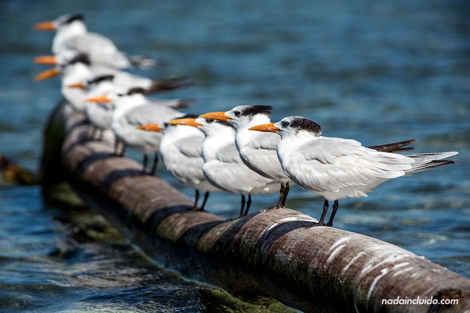 Gaviotas se apoyan en un tronco sobre el mar en Isla Fragata, una isla del archipiélago de San Blas (Panamá)