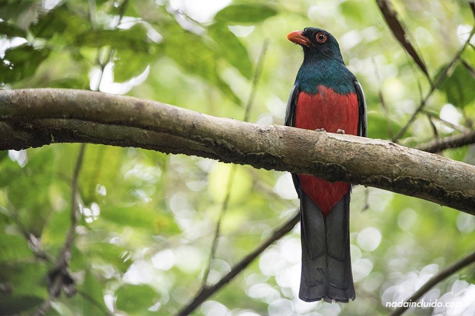 Pájaro en el Parque Nacional de Tortuguero (Costa Rica)