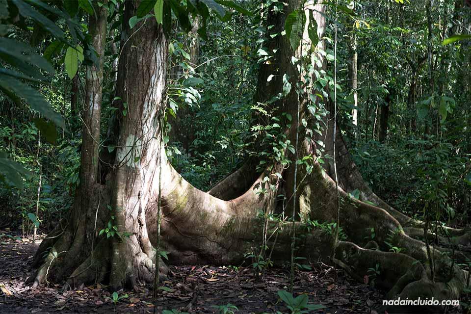 Dos árboles conectados por las raíces en el parque nacional de Corcovado (Costa Rica)