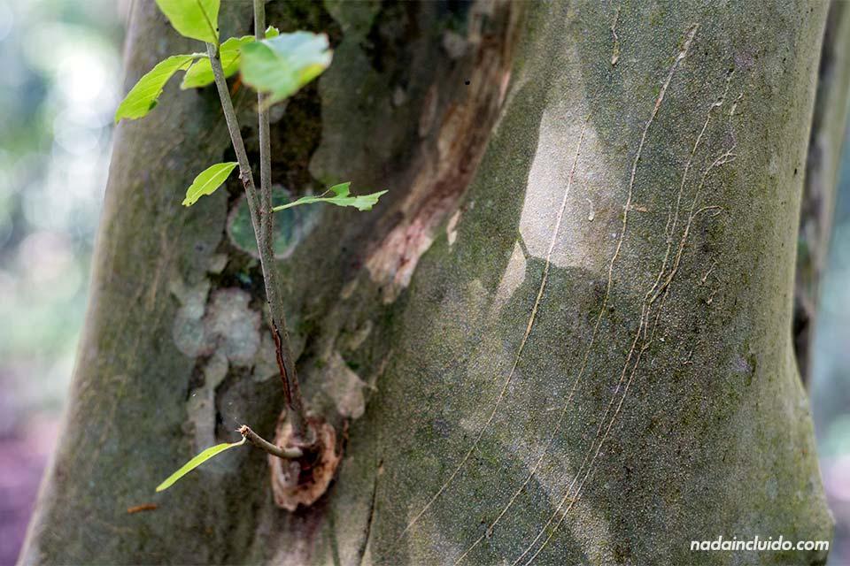 Marcas de felino en el tronco de un árbol del parque nacional de Corcovado (Costa Rica)