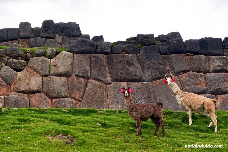 Llamas peruanas en los alrededores de Cuzco (Perú)