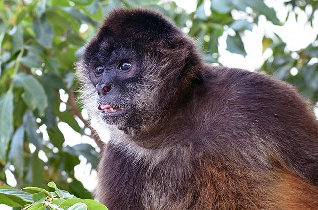 Mono en las Isletas de Granada (Nicaragua)