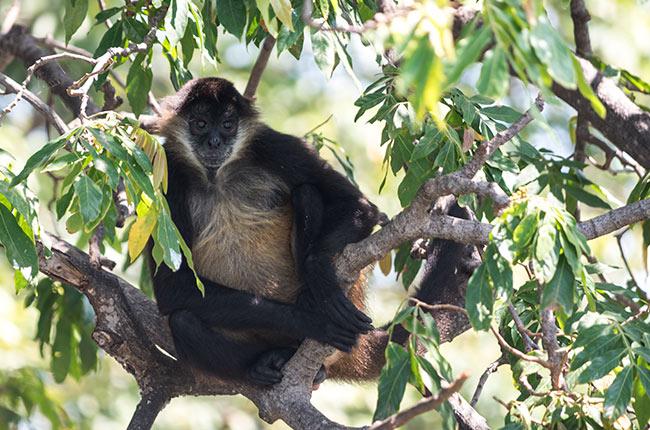 Mono en la Isla de los Monos en las Isletas de Granada (Nicaragua)