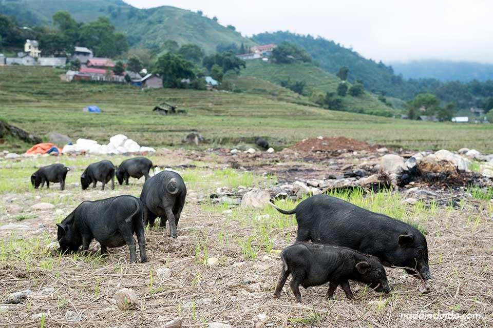 Cerdos vietnamitas en el pueblo de Lao Chai, una aldea de la región de Sapa (Vietnam)