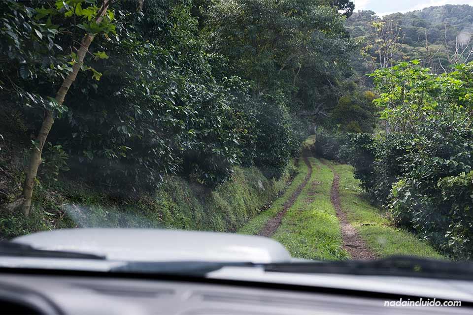Recorriendo en coche los senderos de los cafetales de Elida Estate Coffee, Boquete (Panamá)