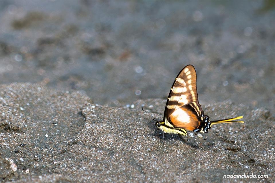 Mariposa en el parque nacional de Corcovado (Costa Rica)