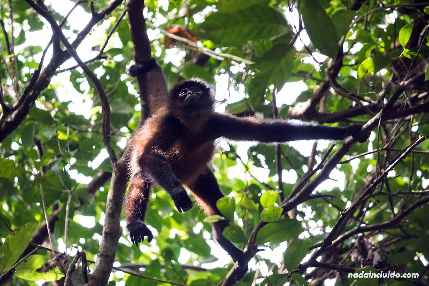 Mono araña en el parque nacional de Corcovado (Costa Rica)
