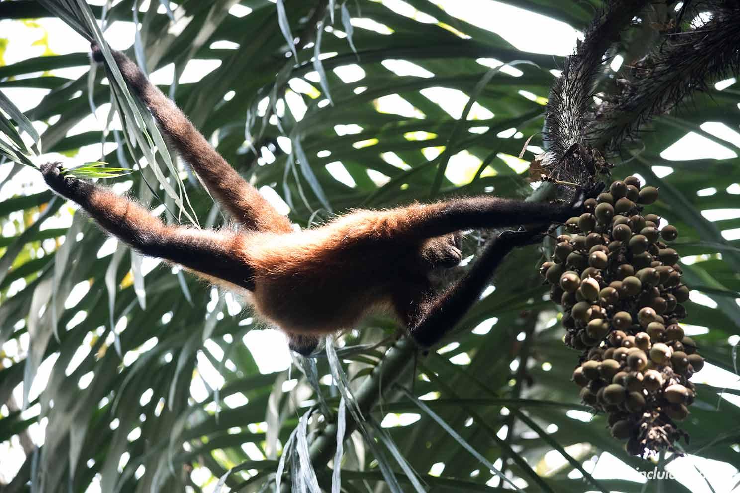 Mono araña comiendo un fruto sobre los árboles del parque nacional de Corcovado (Costa Rica)