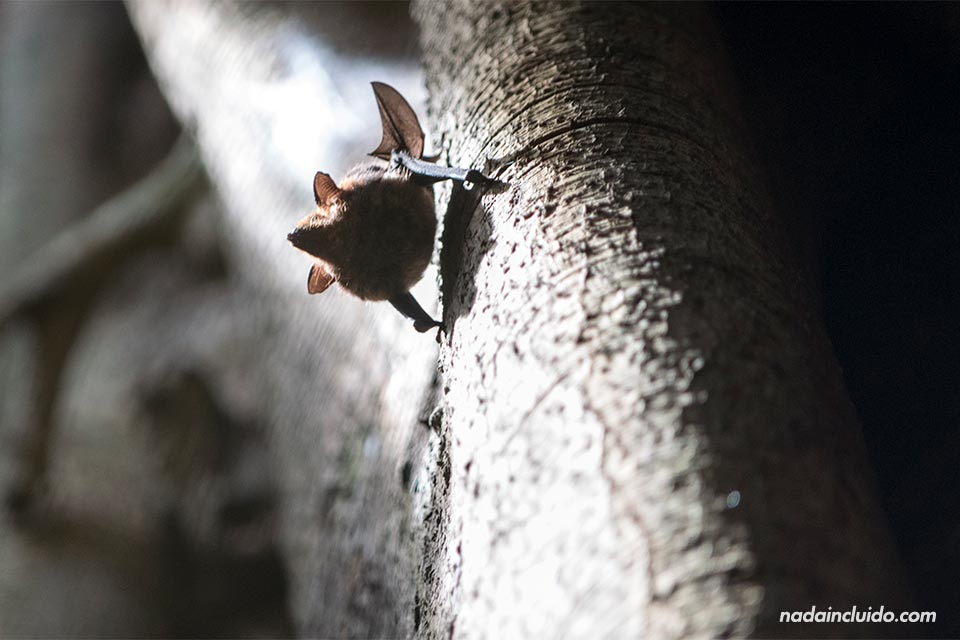 Murciélago entre los árboles del parque nacional de Corcovado (Costa Rica)