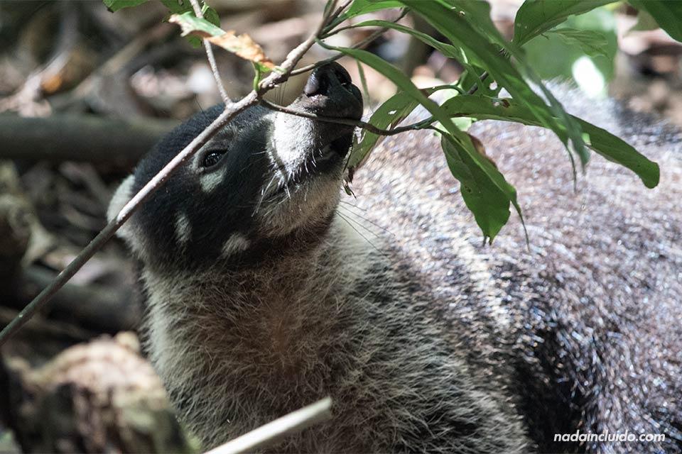 Pisote comiendo hojas en parque nacional de Corcovado (Costa Rica)