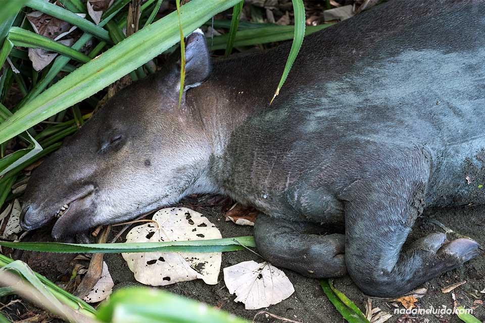 Tapir durmiendo en el parque nacional de Corcovado (Costa Rica)