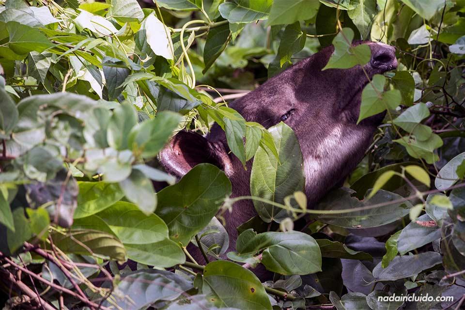 Una cría de tapir comiendo en el parque nacional de Corcovado (Costa Rica)