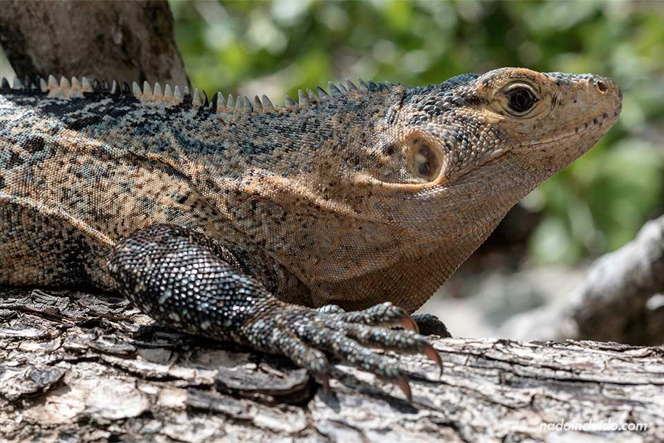 Lagarto en el parque nacional Manuel Antonio (Costa Rica)
