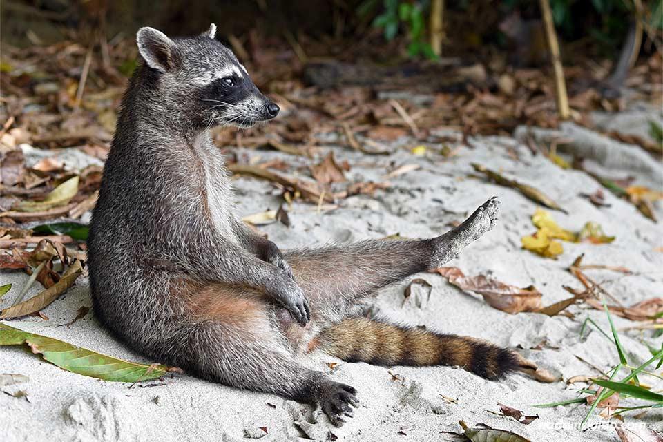 Un mapache en actitud relajada en el Parque Nacional de Manuel Antonio (Costa Rica)