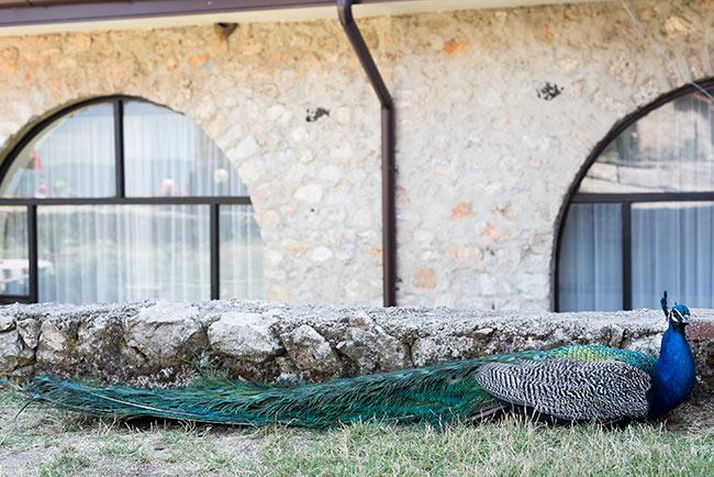 Pavo real en los jardines del Monasterio de San Naum (Macedonia)