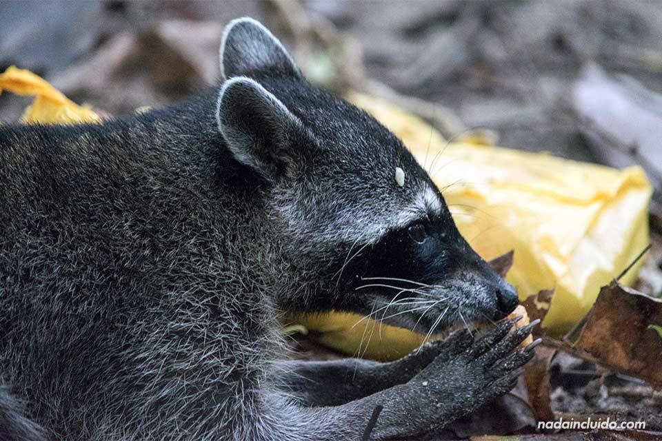 Mapache comiendo en el parque nacional Manuel Antonio (Costa Rica)