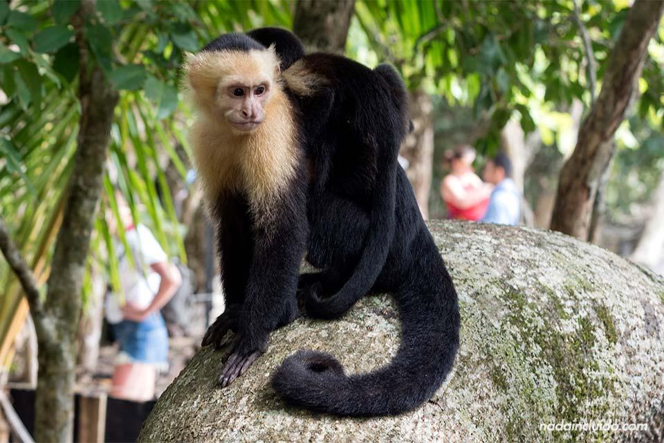 Mono carablanca y su cría en el parque nacional Manuel Antonio (Costa Rica)