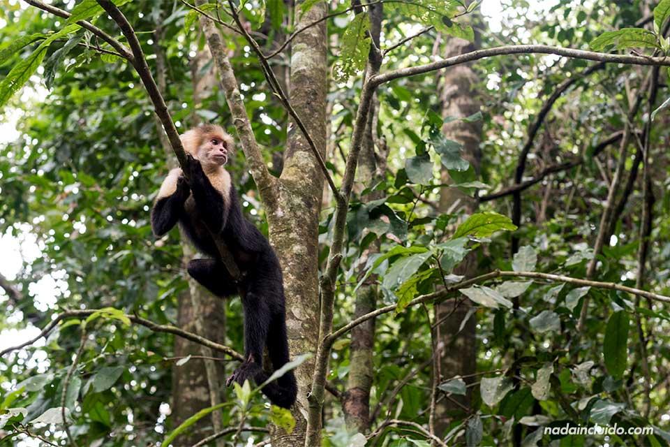 Mono carablanca anciano en Manuel Antonio (Costa Rica)