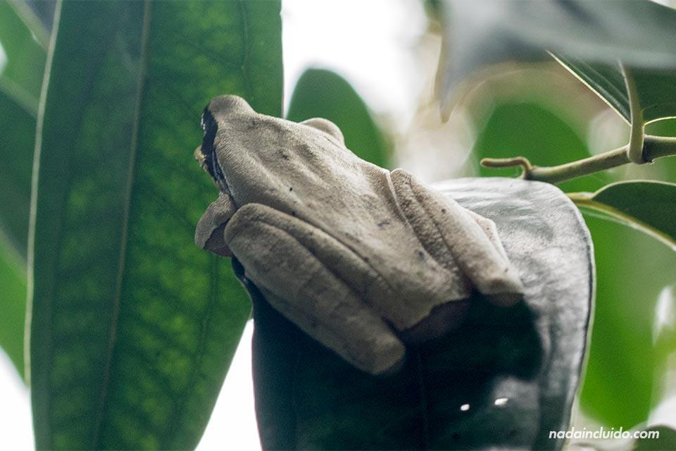 Rana en el parque nacional Manuel Antonio (Costa Rica)