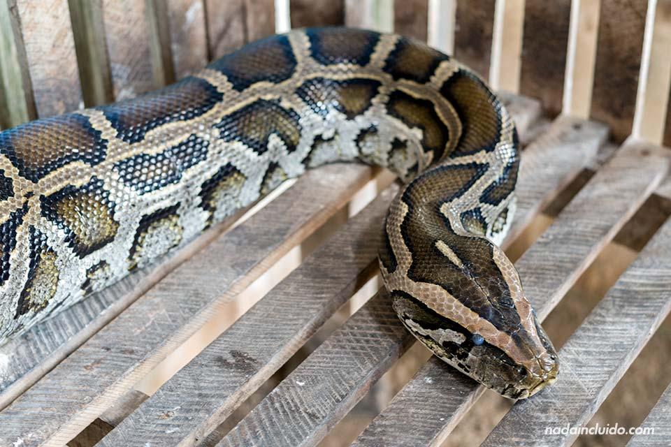 Serpiente pitón en el Delta del Mekong (Vietnam)