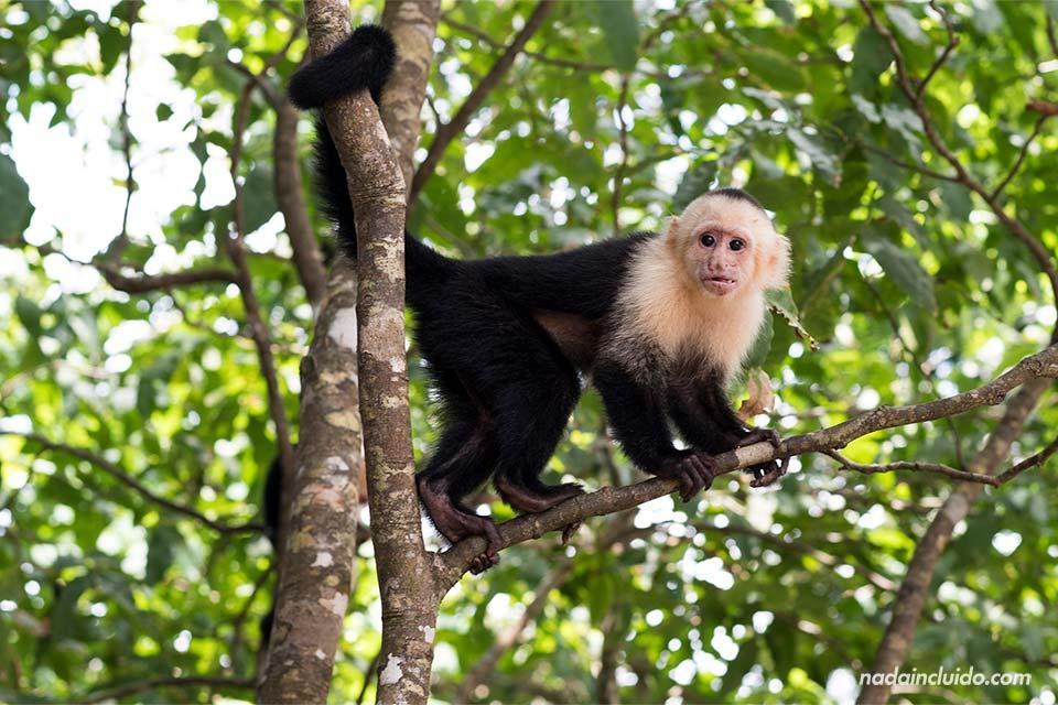 Mono Carablanca en el Parque Nacional Manuel Antonio (Costa Rica)