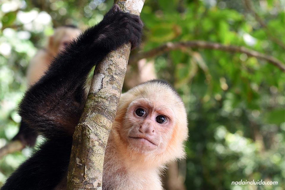 Un mono Carablanca observa desde lo alto de un árbol en el Parque Nacional de Manuel Antonio (Costa Rica)