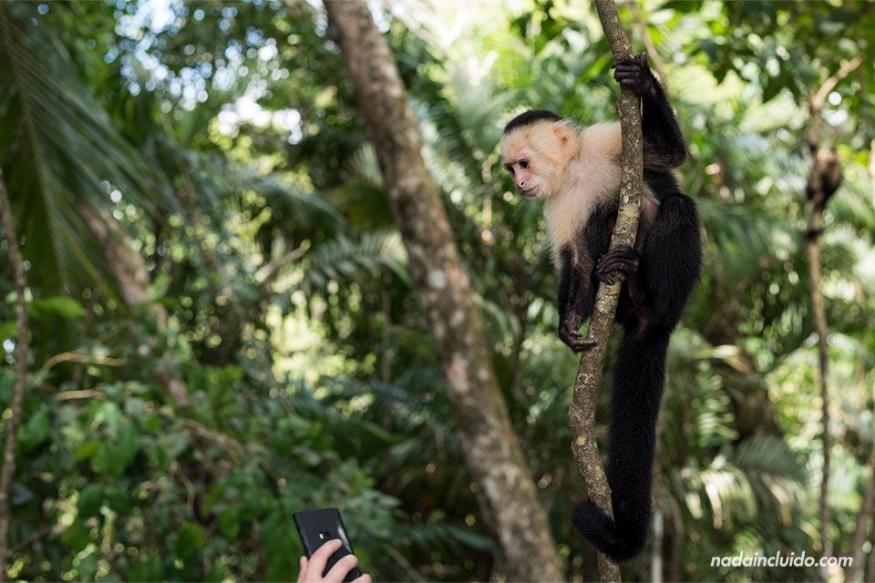 Un mono Carablanca observa con curiosidad un teléfono móvil en el Parque Nacional de Manuel Antonio (Costa Rica)