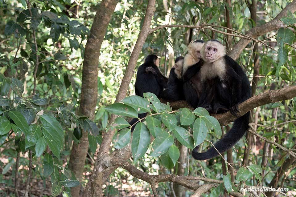 Una familia de monos Carablanca se despiojan en el Parque Nacional de Manuel Antonio (Costa Rica)