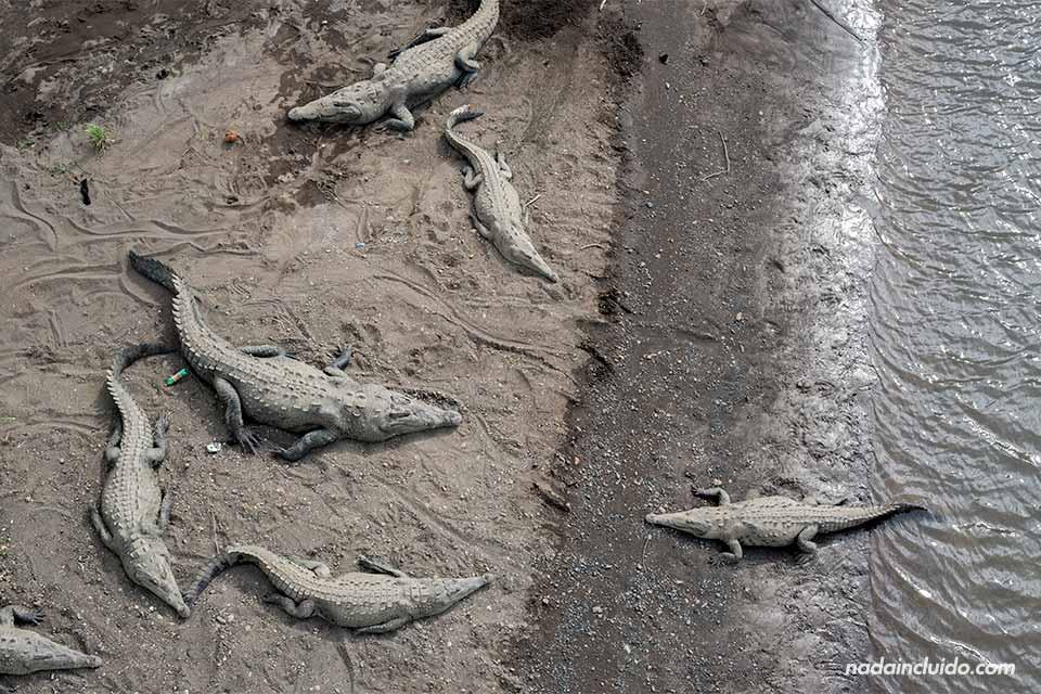 Muchos cocodrilos en el río Tárcoles (Costa Rica)