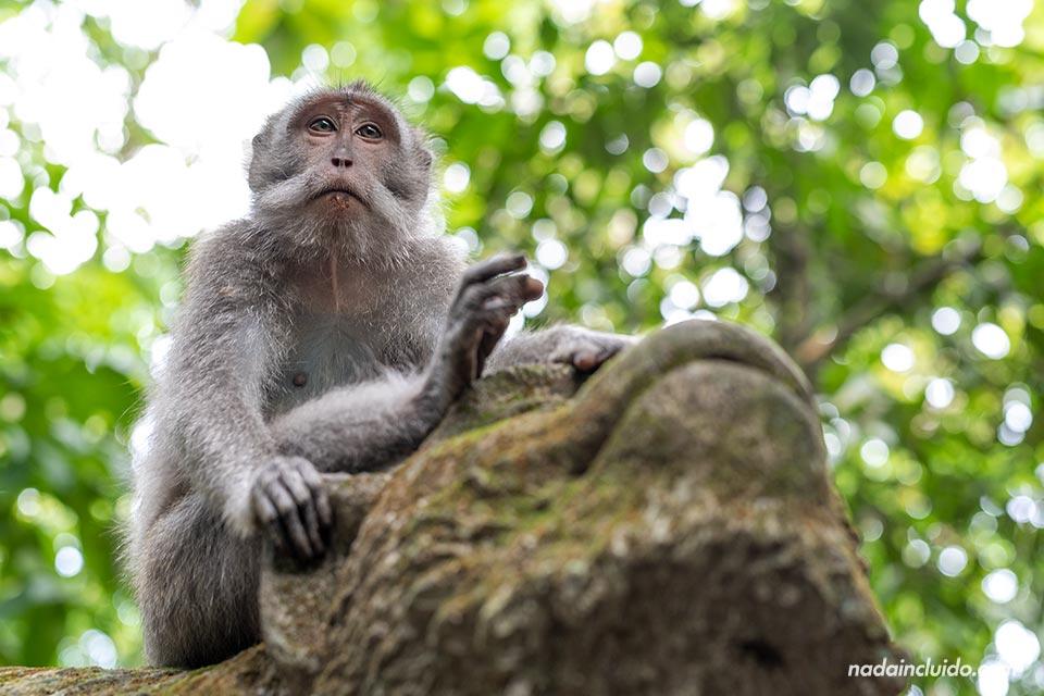 Mono observador en el Monkey Forest de Ubud (Bali, Indonesia)
