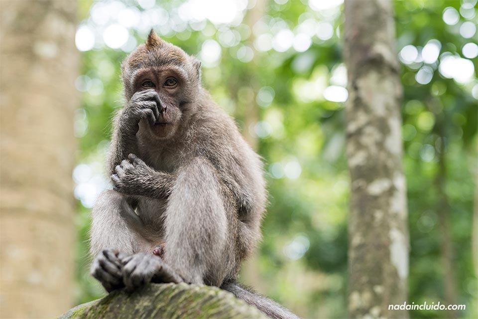 Mono tímido en el Monkey Forest de Ubud (Bali, Indonesia)