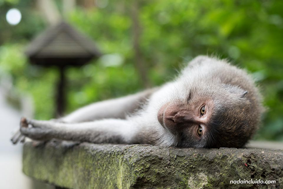 Mono tumbado en el Monkey Forest de Ubud (Bali, Indonesia)