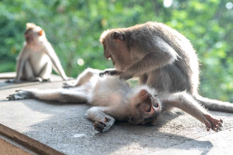 Monos despiojándose en el Monkey Forest de Ubud (Bali, Indonesia)