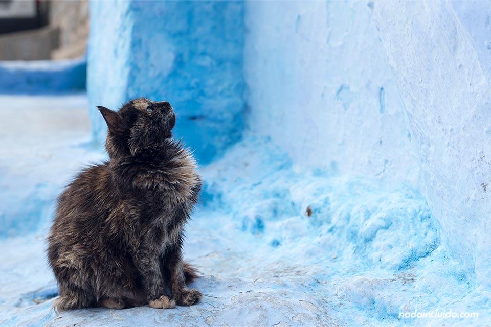 Gato en las calles de la medina de Chefchaouen (Marruecos)
