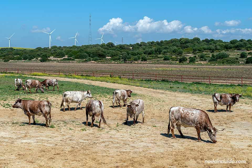 Toros en A Campo Abierto (Cádiz)