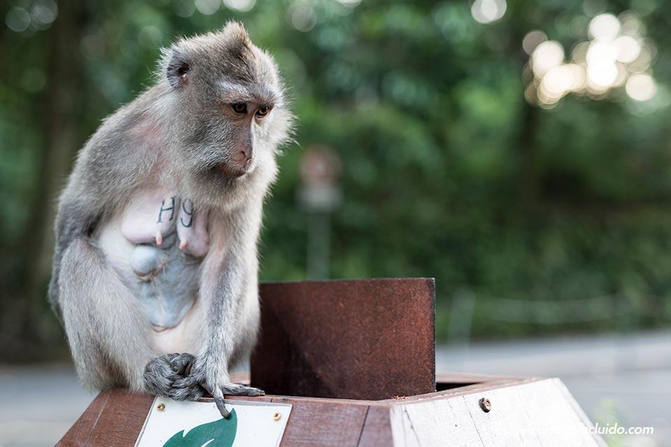Mono en un papelera junto al Monkey Forest de Ubud (Bali, Indonesia)