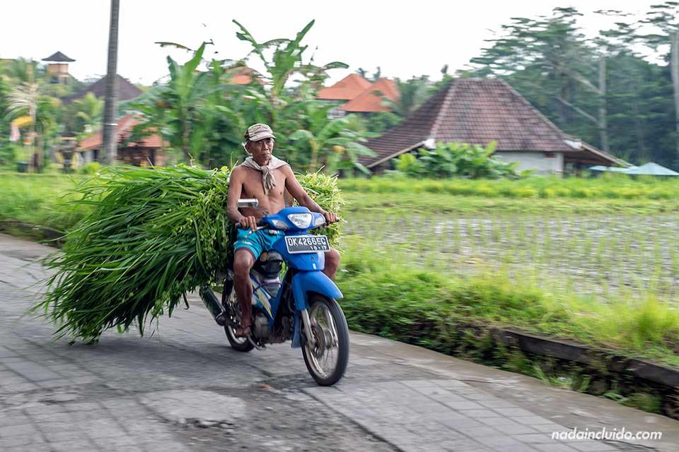 Moto en los arrozales cerca de Ubud (Bali, Indonesia)