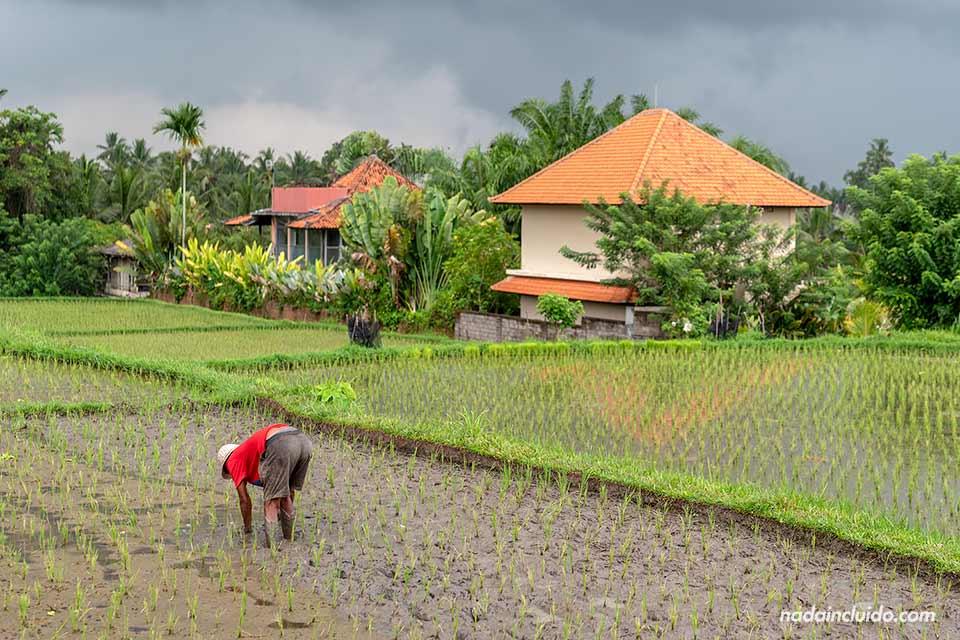 Campesino en los arrozales del Campuhan Ridge Walk de Ubud (Bali, Indonesia)