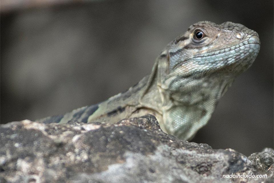 Lagarto en la Reserva Natural Absoluta de Cabo Blanco (Costa Rica)